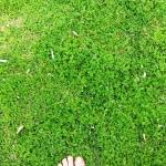 Onehunga Weed