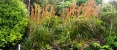 Gahnia setifolia